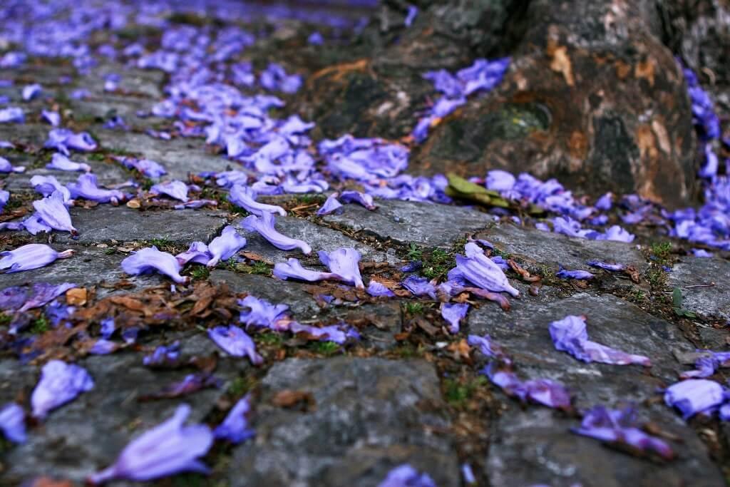 As flores dispersas no chão num arranjo belíssimo, fotografia de Rute Violante