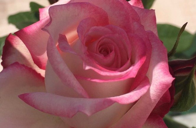 Rosa do jardim