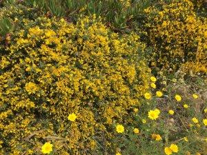 Flora no Cabo da Roca
