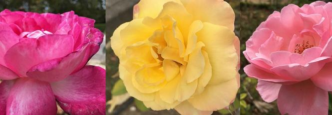 3 rosas, três amigas